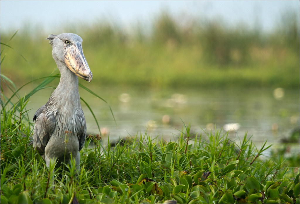Shoebill in semliki National Park