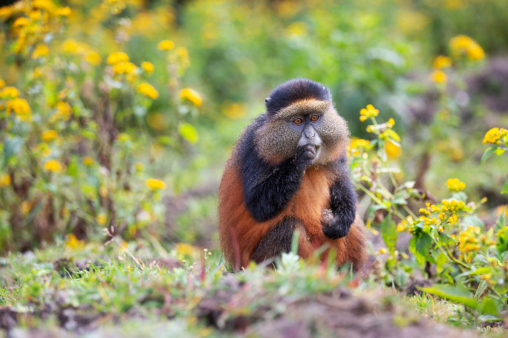 Golden monkeys in Mgahinga National park