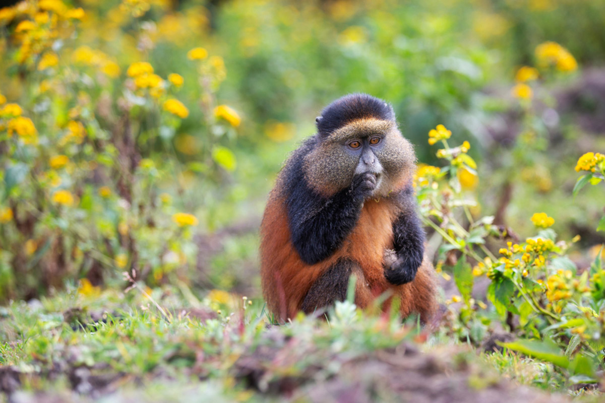 Golden monkeys in Mgahinga National park