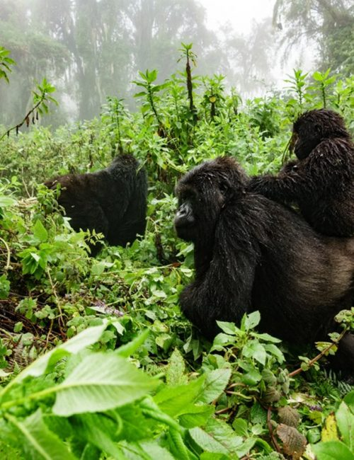 gorillas in Mgahinga National park - gorillas in volcanoes national park