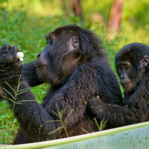 gorillas trekking Africa - Bwindi Gorillas