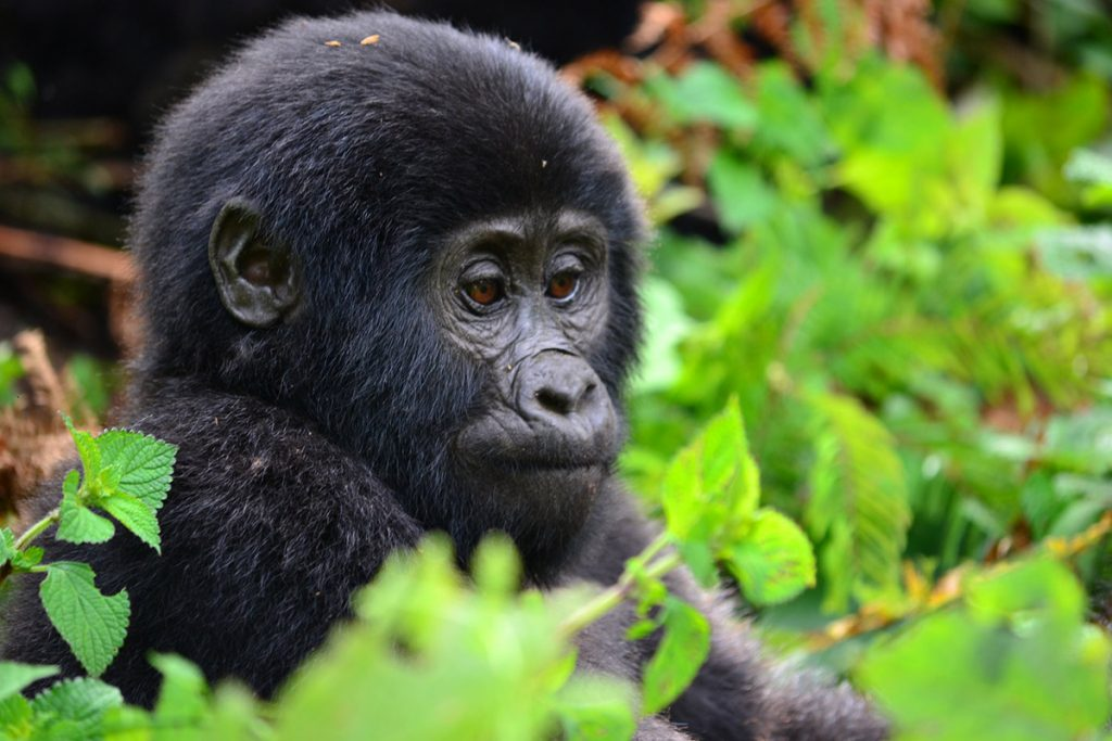 baby gorilla in bwindi Impenetrable national park