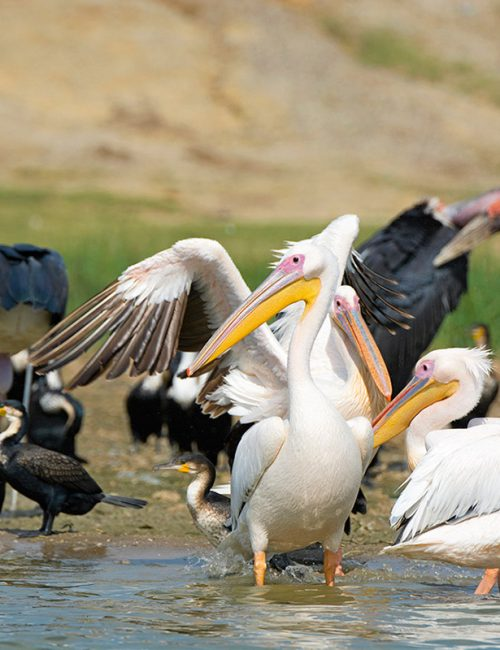 Birdlife in Kazinga Channel