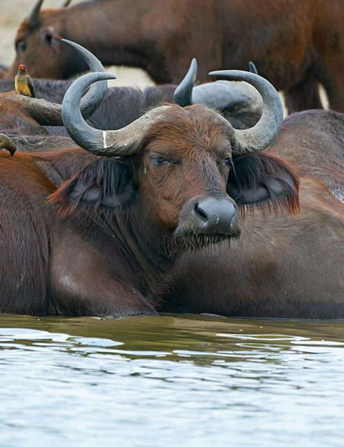 buffalos in lake mburo national ark