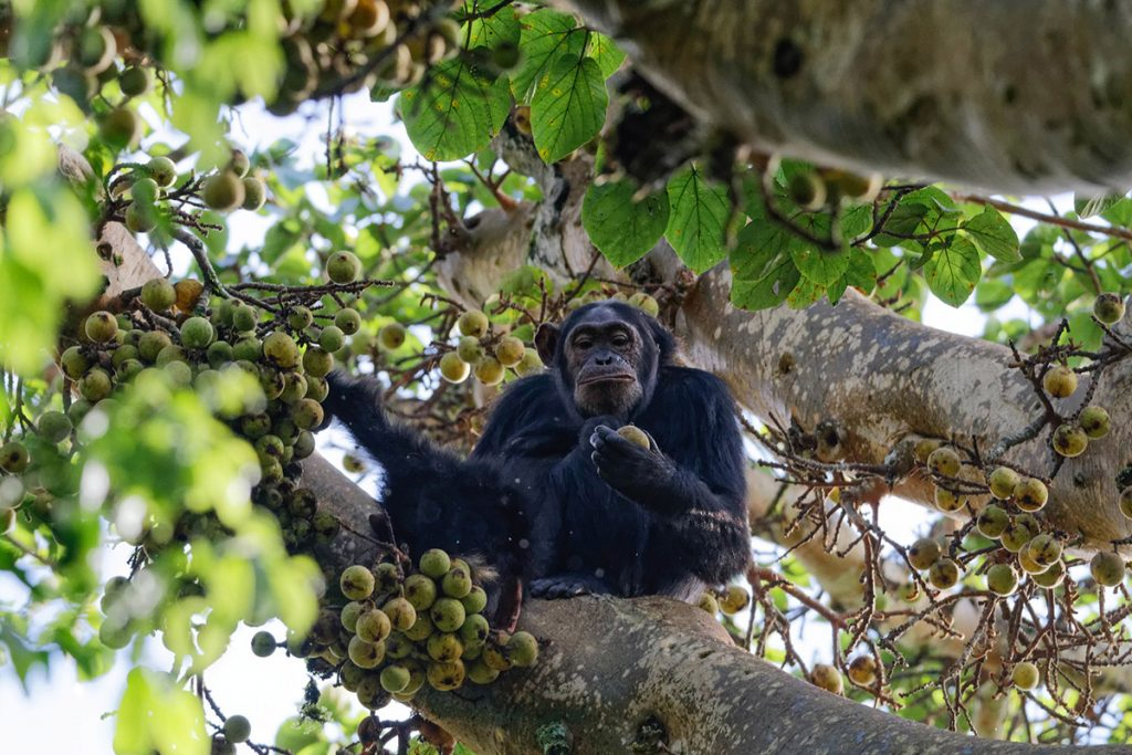 chimpanzees in the forest of kibale