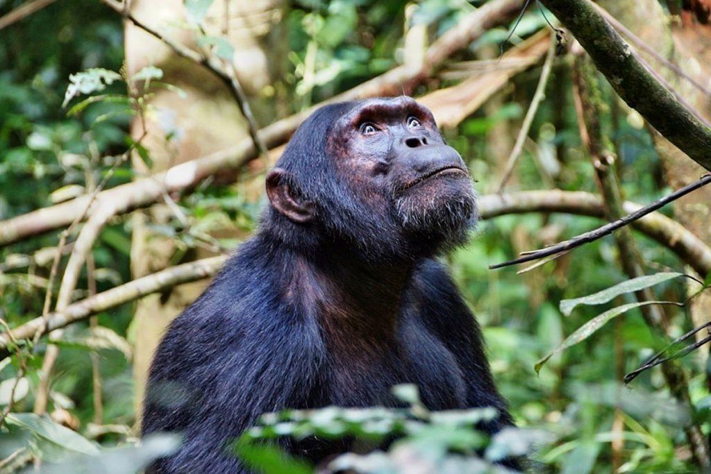 chimpanzees of Uganda
