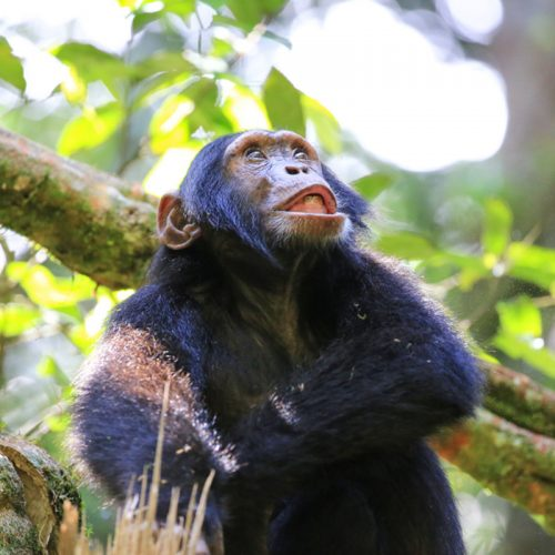 chimpanzees in kibale Forest National Park - chimps in ngamba island - chimps in bugondo forest