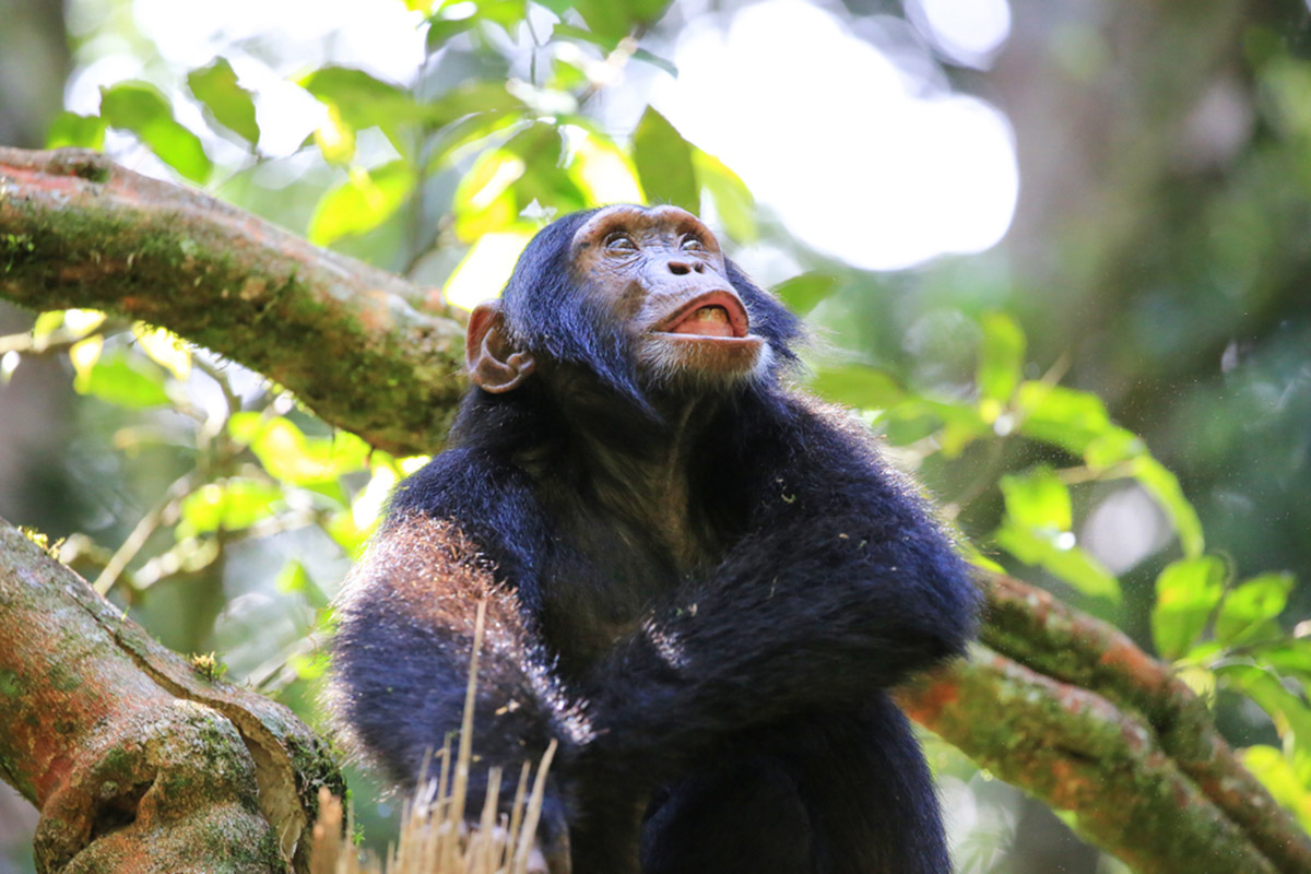 Gorilla, Chimpanzee and Wildlife Safari