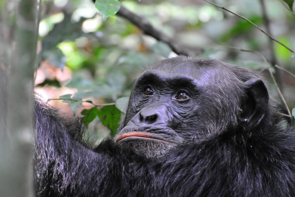 chimpanzees in Kibale Forest