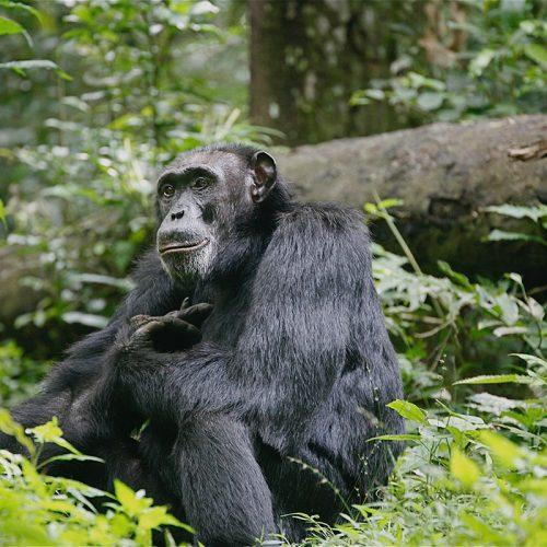 chimpanzees in ngamba island