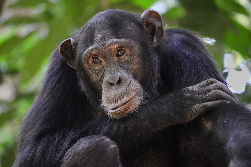 chimpanzees in kibale forest Uganda