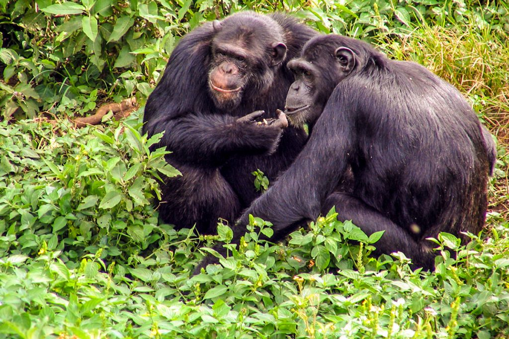 chimps in Ngamba island