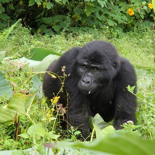 endangered mountain gorillas
