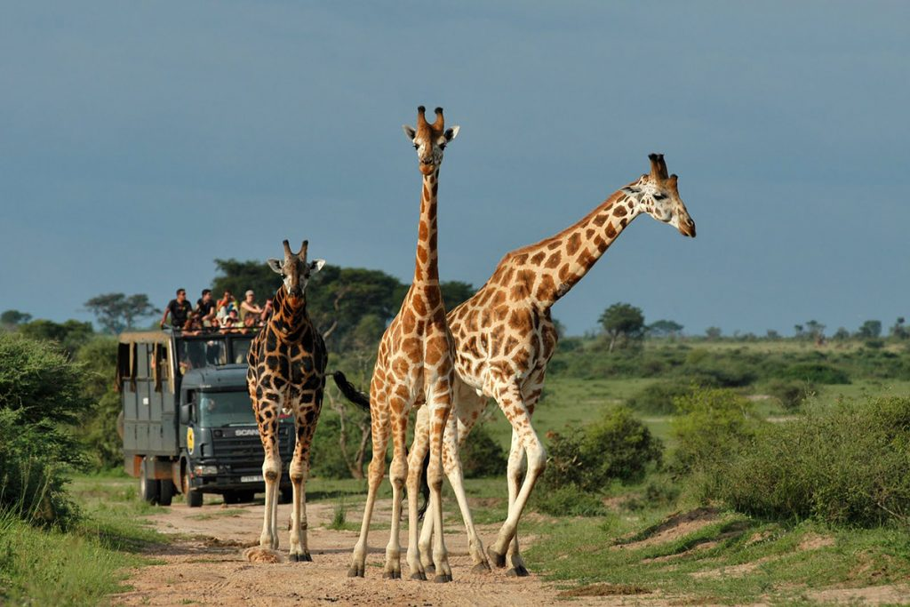 wildlife game drives in queen eilzabeth national park