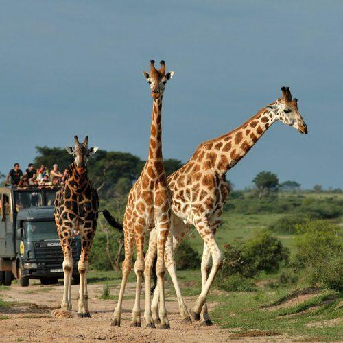 wildlife game drives in queen eilzabeth national park