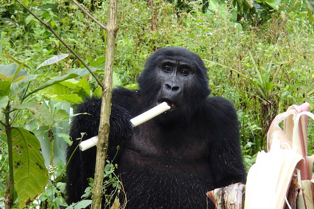 gorilla eating in bwindi