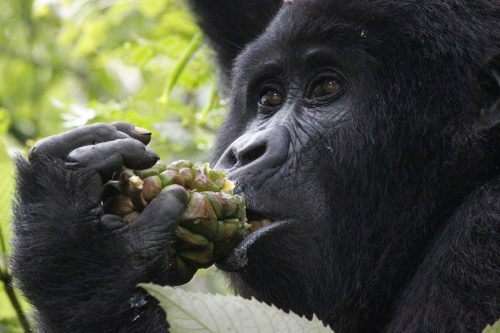 Flying Gorilla Trekking In Uganda