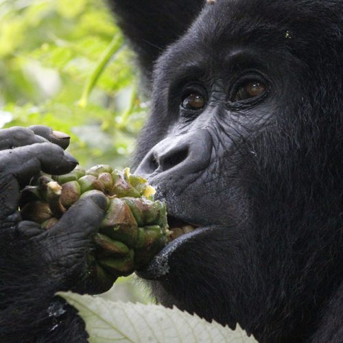 gorillas in bwindi Impenetrable forest park