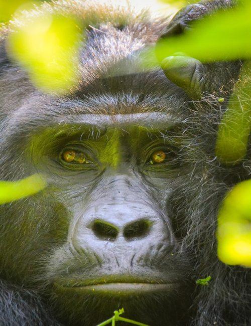 gorillas at sight
