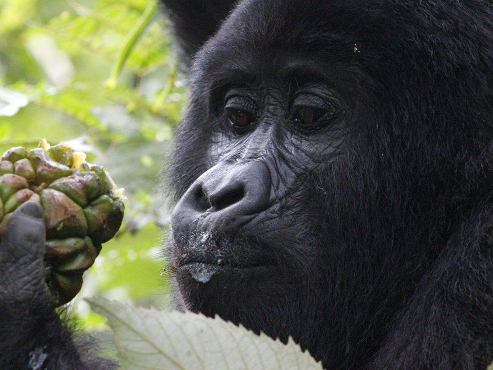 gorilla-tracking-in-Uganda
