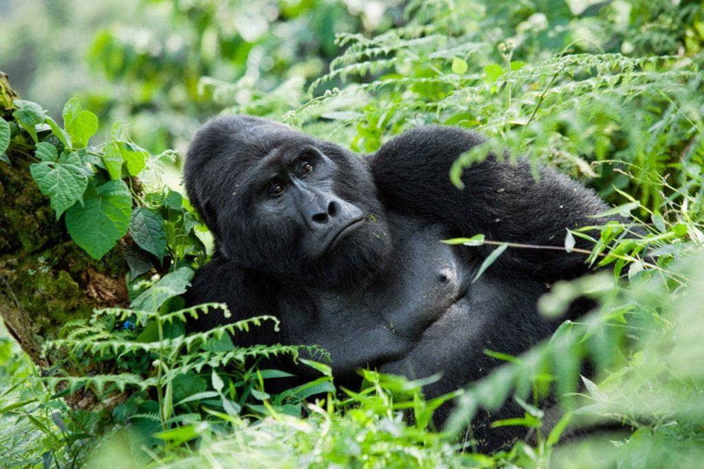 gorilla in rwanda - gorillas in Uganda