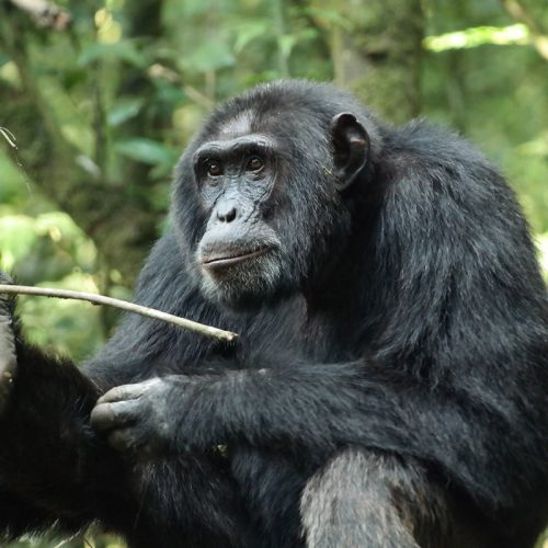 kibale chimpanzees - chimpanzees in kyambura