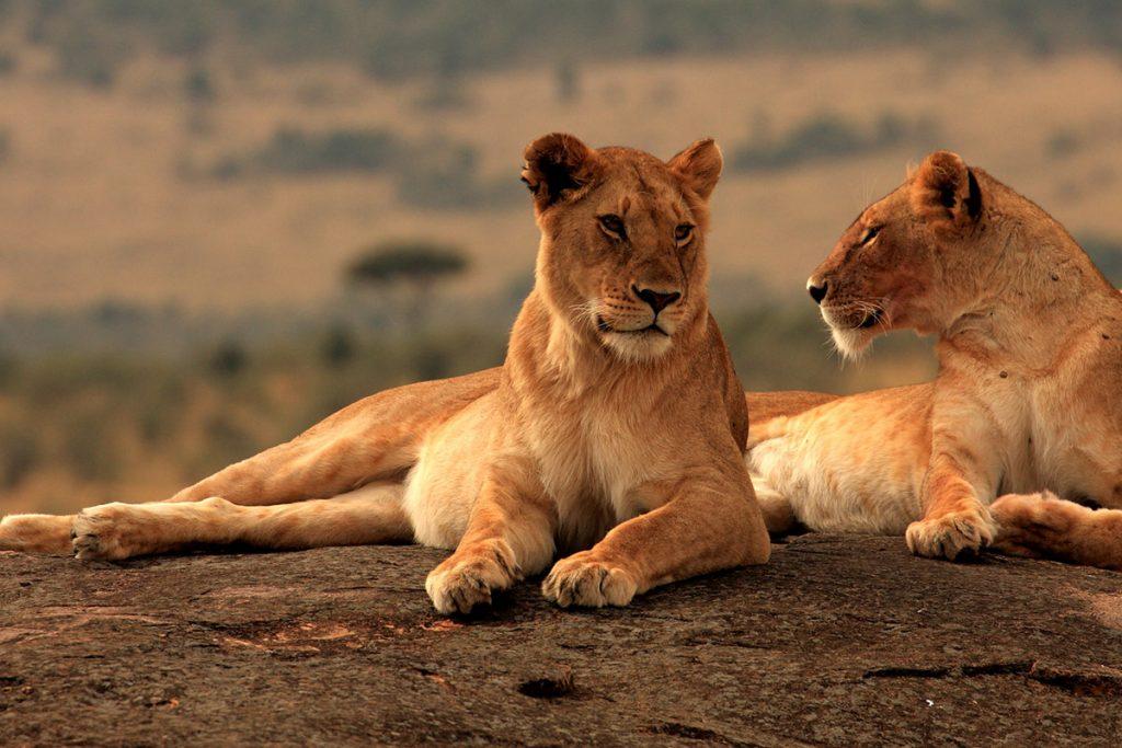 lions in queen elizabeth national park