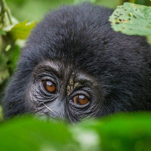 gorillas Trekking Safari Africa