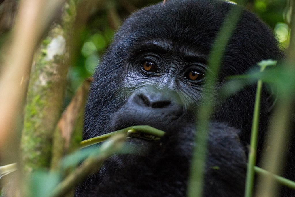 mountain gorillas of bwindi forest