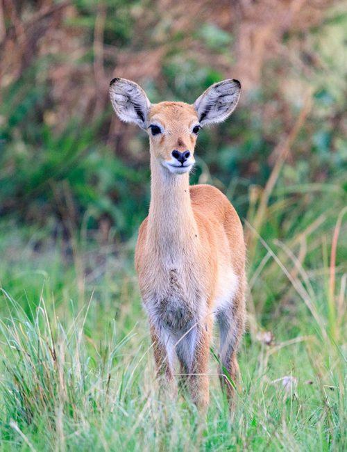 Rwanda-Game-Safari