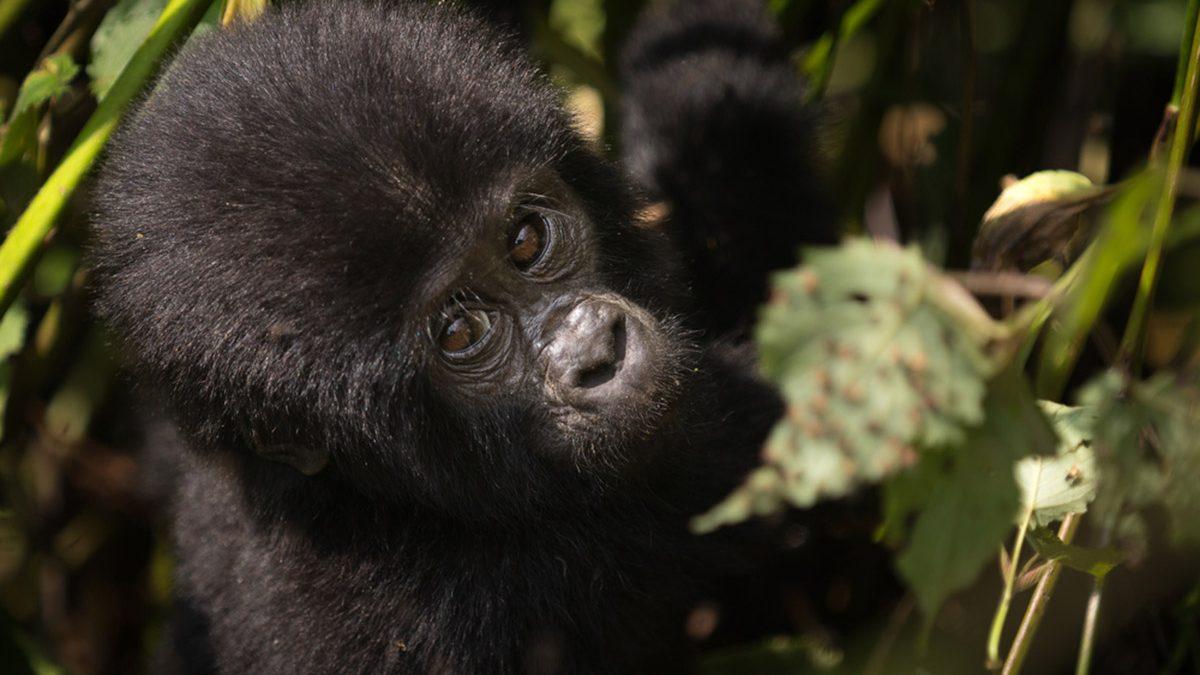 gorilla-habituation-safari
