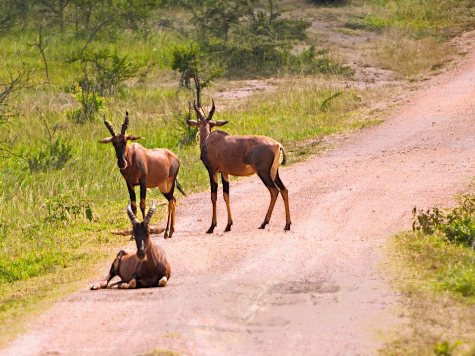 Africa-Safari-Uganda