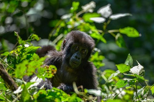 Fly-in Gorilla Trekking and Uganda Wildlife Safari