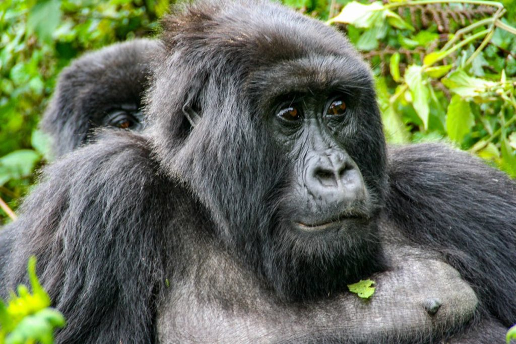 About Gorilla Trekking In Bwindi National Park