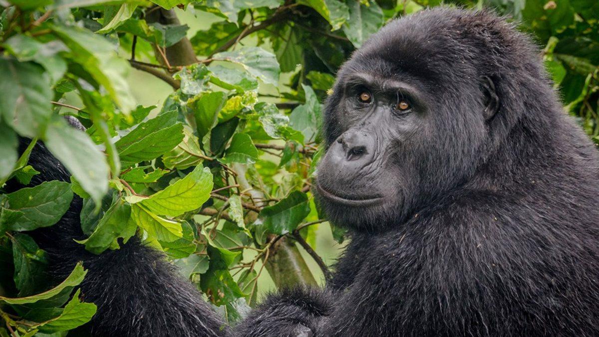 Gorilla-Tracking-Habituation-Safari
