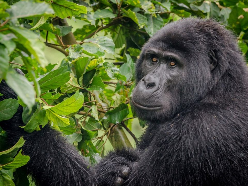 Gorilla-Tracking-Habituation-Safari