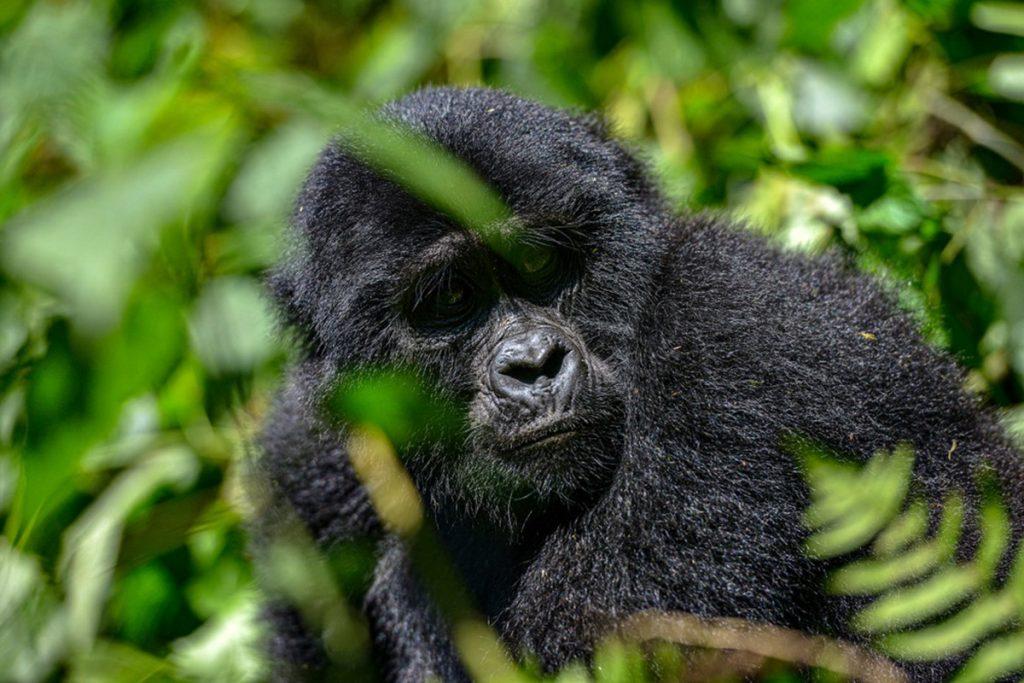 gorillas of bwindi Forest