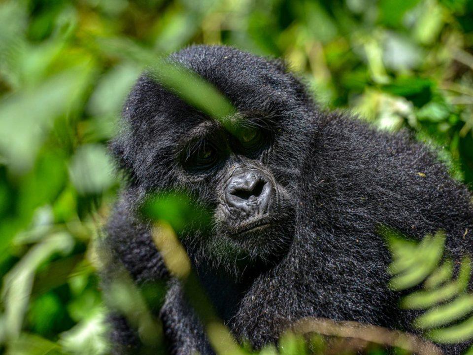 gorilla-tracking-safari