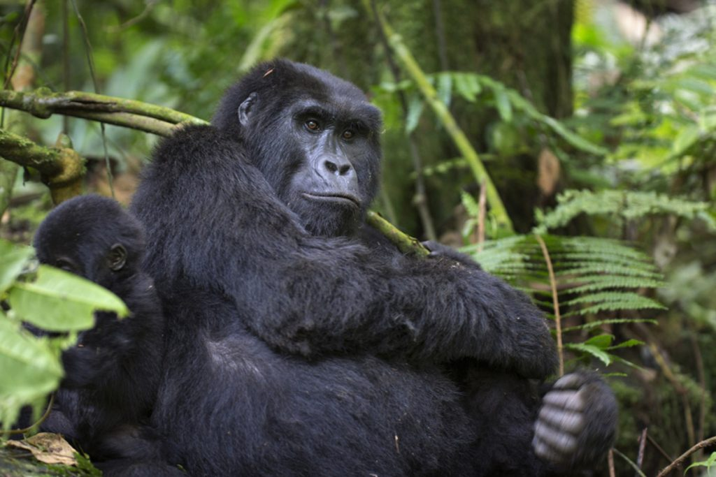 gorillas chilling in Bwindi