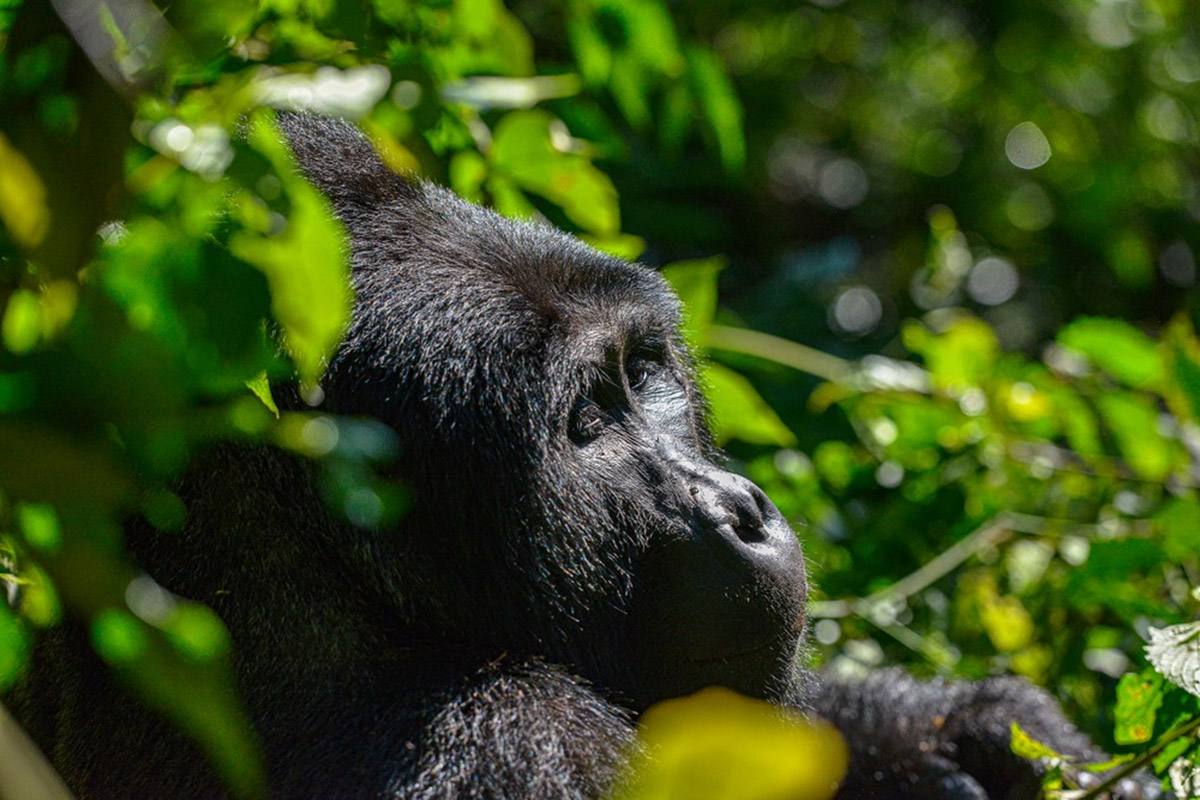 Gorilla Trekking and Wildlife Safari