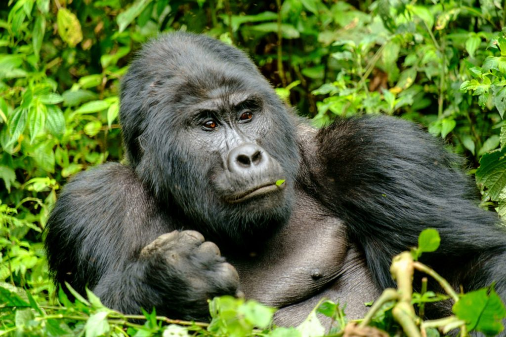 gorillas of bwindi in Uganda
