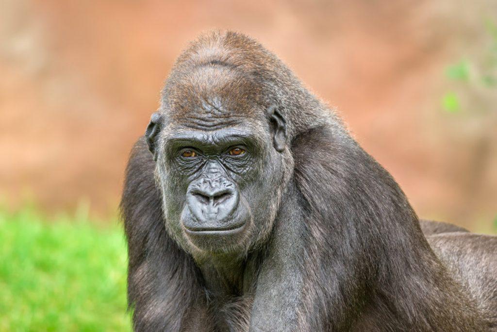 gorillas of Uganda