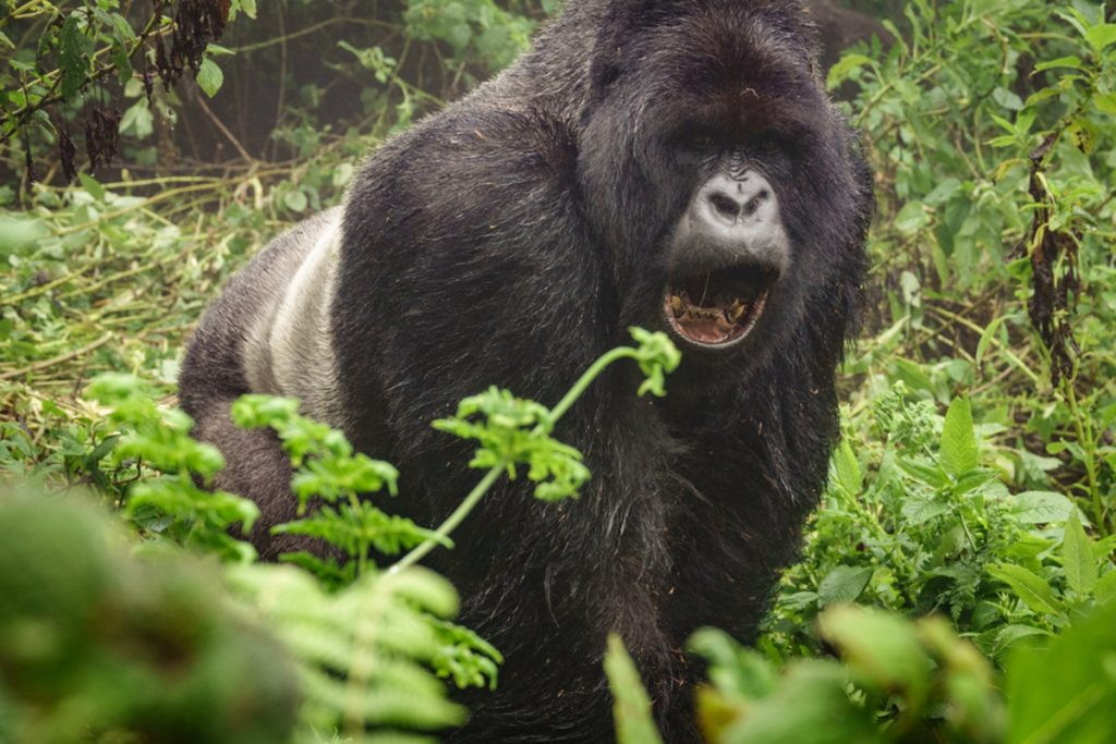 Gorilla tracking History In Bwindi National Park.
