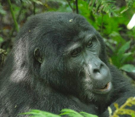 gorilla-trekking-budget-safari