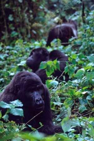 Gorilla-Tracking-Uganda-Plan