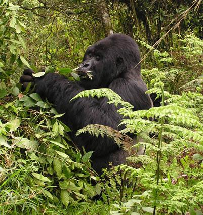 Gorilla-tracking-safari-Planning