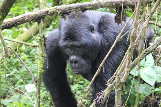 Gorilla-Tracking-Safari-Africa