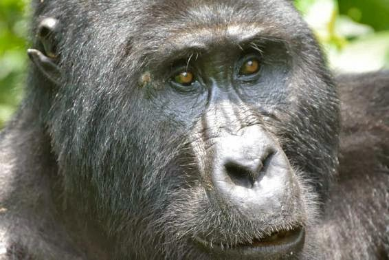 Gorilla-tracking-Bwindi