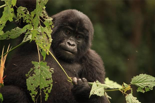 Gorilla- Tracking-Rwanda