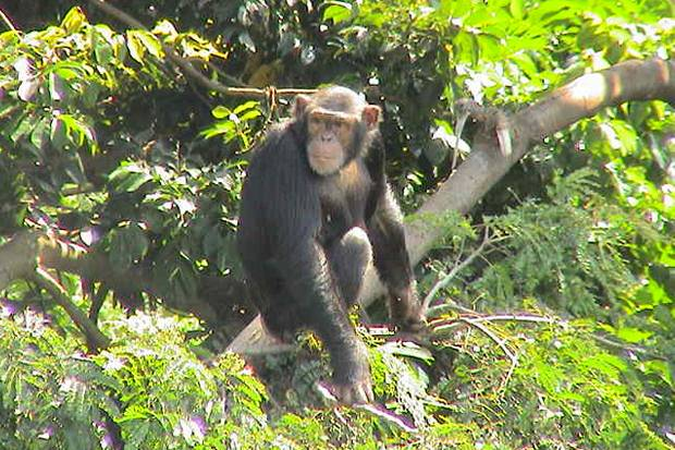 Uganda-Chimpanzee-Tracking